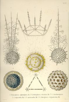These are the 35 copper plates that accompanied Ernst Haeckel's Radiolaria book from 1862. This volume has kindly been provided by Prof. Dr. Peter von Sengbusch (Institut für allgemeine Botanik, Hamburg, Germany). The 35 plates were scanned by Kurt Stüber. Tafel_11.jpg (845×1237)
