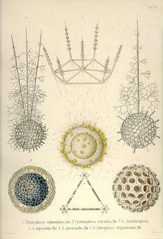 These are the 35 copper plates that accompanied Ernst Haeckel's Radiolaria book from 1862.This volume has kindly been provided by Prof. Dr. Peter von Sengbusch (Institut für allgemeine Botanik, Hamburg, Germany).  The 35 plates were scanned by Kurt Stüber.   Tafel_11.jpg (845×1237)