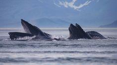 Humpback whales in Lynn Canal, Alaska (© Bernd Römmelt/4Corners)