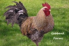 I want one!  Golden Cuckoo Marans-Roo