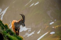 Morning Walk Young Ibex in the Bernese Alps on a morning walk. Breeding Goats, Walking By, Alps, Animal Kingdom, Animals Beautiful, Pet Birds, Bald Eagle, Mammals, Creatures