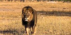 Cecil the Lion: The Facts and the Fallout