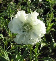 Scabiosa Seeds -WHITE ,Flowers seeds,commonly known as Pincushion Flowers.
