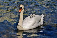 Now this is the way to travel, snug as a bug in a rug  Mute Swan photo by Terrah Hewett