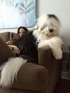 Not every relationship has it but if your dog trusts you youll know. Here are 5 ways how to tell if your dog trusts you. Sheepadoodle Puppy, Havanese Puppies, Cute Puppies, Cute Dogs, Dogs And Puppies, Doggies, Sheep Dogs, Rottweiler Puppies, Old English Sheepdog Puppy
