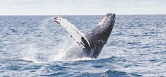 Get Your Marine Mammal Fix on Massachusetts' New Whale Trail Turtle Images, Marine Traffic, Clean Ocean, Noise Pollution, Wale, Chant, Humpback Whale, Whale Watching, Best Places To Travel