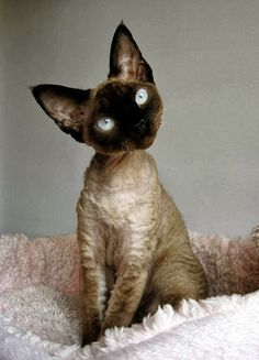 Cornish Rex Cat History,Size and Weight Click the picture to read