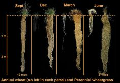 Comparison of wheat roots to those of Thinopyrum intermedium in four seasons. File:4 Seasons Roots.jpg