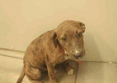 "***URGENT ON THE EUTH LIST***  MOBILE, ALABAMA! BABBI ID#A051196 ""RESCUE ONLY"" Babbi is a 4 month old, 23 pound, Pittie mix who has just wants to be loved.   Babbi and her brother Bobby have been at the facility since August 13, 2013. Mobile County Animal Shelter 7665 Howells Ferry Rd Mobile, AL 36618."