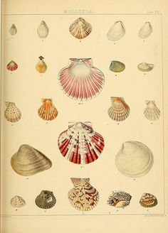 Bivalve Conchological illustrations from The Zoology of the voyage of H.M.S. Samarang, 1843-1846