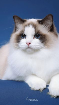 Most current Images Cat Breeds birman Popular : Some individuals feel that pet cats are merely felines, which all of them are a same. Those same people today may very well be astonished to master th. Cute Cats And Kittens, I Love Cats, Crazy Cats, Kittens Cutest, Pretty Cats, Beautiful Cats, Animals Beautiful, Animals And Pets, Baby Animals