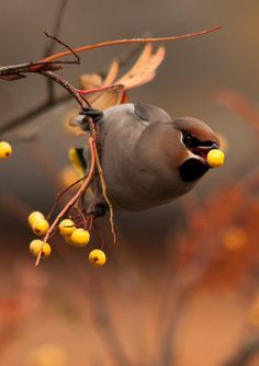 Cedar Waxwing - every Fall for a few days we have flocks of these that eat ALL the red berries in sight and then leave for the Winter. I've seen 30+ on a bush at once and the berries disappear overnight.