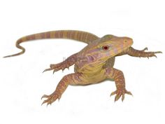 albino monitor lizard Monitor Lizard, Albino, Lizards, Nerd, Life, Animals, Animales, Animaux, Otaku