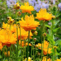 Trollius Plant - Dancing Flame - All Perennial Plants - Perennial Plants - Gardening - Suttons Seeds and Plants Growing Flowers, Love Flowers, Wild Flowers, Planting Flowers, Beautiful Flowers, Flower Plants, Bog Garden, Garden Plants, Plants Sunny