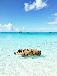 And this little piggy went to the beach.livin' the life! (Pig Beach in the Bahamas.feral pigs found the beach and stayed! Dream Vacations, Vacation Spots, Les Bahamas, Pig Beach Bahamas, Bahamas Pigs, Nassau Bahamas, Sandals Emerald Bay, Emerald Rings, Ruby Rings