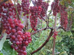 Vanessa Grape An early ripening red seedless grape with a sweet fruity flavor. Canadale Nurseries Ltd.