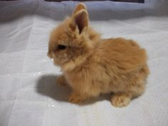 Brown and white lionhead rabbit - photo#27