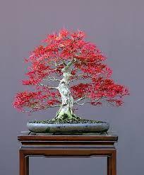 bonsai tree japanese maple waterfall - Google Search
