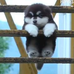 """Acquire terrific pointers on """"cute dogs"""". They are readily available for you on our website. Boxador Puppies, Alaskan Malamute Puppies, Malamute Husky, Akita Puppies, Akita Dog, Cute Dogs And Puppies, Baby Dogs, Baby Siberian Husky, Chien Akita Inu"""