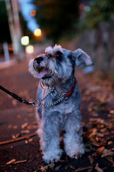 ♡ Schnauzer......let's go around the block one more time.  Love always shines through the face of the Schnauzer!