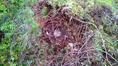 Karhun kaivama ampiaispesä itärajalla