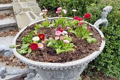 Pink and red flowers with round blooms and green leaves, planted in a large decorative cement planter in front of a stone building with a large boxwood in the background.