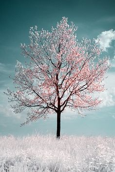 A cherry blossom tree.  It's almost like Jemma's dream...