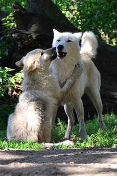 Wolf Kiss by Wincey Beautiful Wolves, Beautiful Dogs, Animals Beautiful, Cute Animals, Coyotes, Canis Lupus, Wolf Images, Husky, Wolf Love