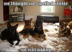 New memes dog closed doors Ideas German Shepherd Memes, German Shepherd Pictures, German Shepherd Puppies, German Shepherds, Funny Dog Memes, Funny Dogs, Funny Animals, Funny Quotes, Funny Happy Birthday Pictures
