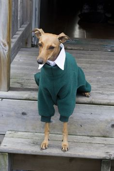 Iggy Joey is dapper in a green onsie from Rebel Wag and a white collar from Pup & Kit!   The fanciest Italian Greyhound in Toronto.