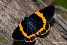 橙帶藍尺蛾 - Google 搜尋