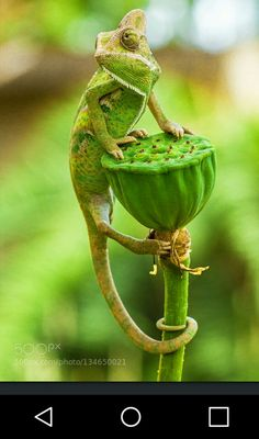 Le plus récent Aucun coût Reptiles iguana Idées Nature Animals, Animals And Pets, Baby Animals, Funny Animals, Cute Animals, Chameleon Pet, Veiled Chameleon, Reptiles Et Amphibiens, Cute Reptiles