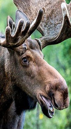 close up of moose face! A - close up of moose face! A Le maquillage est us proce - Moose Pics, Moose Pictures, Moose Deer, Bull Moose, Animal Pictures, Moose Lodge, Especie Animal, Mundo Animal, Moose Animal