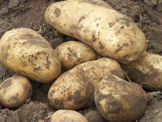 Tuintip: zelf aardappelen kweken