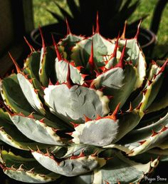 Agave parryi.