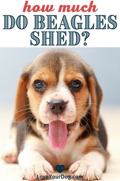 How much do Beagles shed? We answer this question and walk through fur management in the Beagle shedding guide below. #LoveYourDog #Beagles #ILoveBeagles #DoBeaglesShed #HowMuchDoBeaglesShed #DogsThatShed #SmallDogBreeds #BeagleBreed Beagle Breeds, Dog Information, Beagle Puppy, R Dogs, Small Dog Breeds, Fun Activities, Your Dog, Shed, Puppies