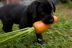30 Amazing Dog And Puppy Facts To Share With Kids [PICTURES] - DogTime Can Dogs Eat Carrots, Eating Carrots, Golden Retriever, Retriever Puppy, I Love Dogs, Cute Dogs, Labrador Golden, Black Labrador, Dog Breeds