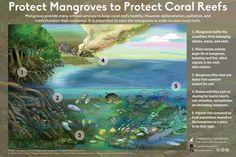 mangrove importance
