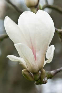 Magnolia x soulangeana 'Superba', late March. Flor Magnolia, Magnolia Trees, Magnolia Flower, White Magnolia Tree, White Flowers, Red Roses, Beautiful Flowers, Macro Flower, Flower Art