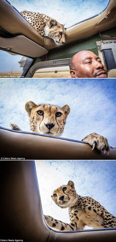 Africa | Tourist comes within inches of inquisitive cheetah when it pokes its head through car sunroof. Big cat hops on Land Rover in Tanzania's Serengeti National Park