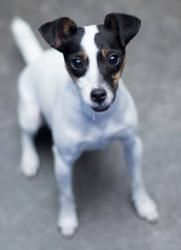 1000+ images about Jack Russell / Rat Terrier on Pinterest ...