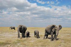 Uno de los mejores para ver elefantes. El Parque Nacional de Amboseli se encuentra en la frontera entre Kenia y Tanzania, y es el mejor lugar para poder ver de cerca, desde el lado keniata, del monte Kilimanjaro, que es la montaña más alta del continente africano. También es un buen lugar para ver familias de elefantes, ya que es un lugar donde las madres vienen a parir, y se puede ver muchas crías de elefantes con sus madres.