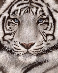 White Tiger Painting Print By Rachel Stribbling. Wildlife Art / Animal Art.