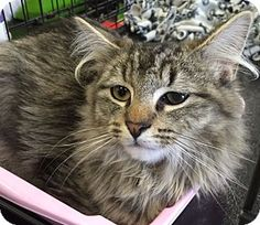 1/19/16 Levittown, NY - Maine Coon. Meet Logan, a cat for adoption. http://www.adoptapet.com/pet/14747761-levittown-new-york-cat