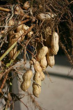 Оказывается, для того чтобы вырастить этот вкусный, а главное, полезный орех в наших климатических условиях, особых усилий вовсе и не потребуется. Итак, в чем же залог успеха и высокого урожая?