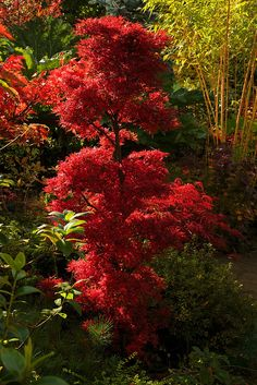 Autumn Acer palmatum 'Shaina' This acer has an unusual dwarf, bushy, tufted habit and beautiful small leaves. The leaves of 'Shaina' are the same dark red all summer, but when autumn arrives the color turns a luminescent crimson-red. Garden Shrubs, Garden Trees, Shade Garden, Garden Landscaping, Deciduous Trees, Trees And Shrubs, Trees To Plant, Acer Trees, Outdoor Plants