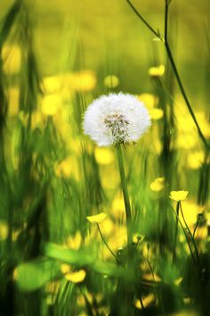 In the buttercups. I grew strong, I knew how to get along. Did I crumble?  Did I lay down and die?  Oh, no, not I - I will survive. I used to feel sorry for myself, I used to cry BUT now I hold my head up high.  I will survive.