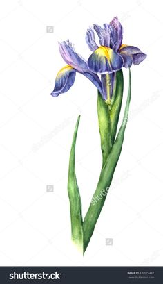 Isolated Watercolor Iris On White Background