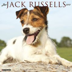 Just Jack Russells Wall Calendar: The fun and fearless, plucky and lovable Jack Russell Terrier is celebrated in these twelve cheerful, full-color photographs.