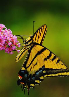 flying tiger swallowtail butterfly